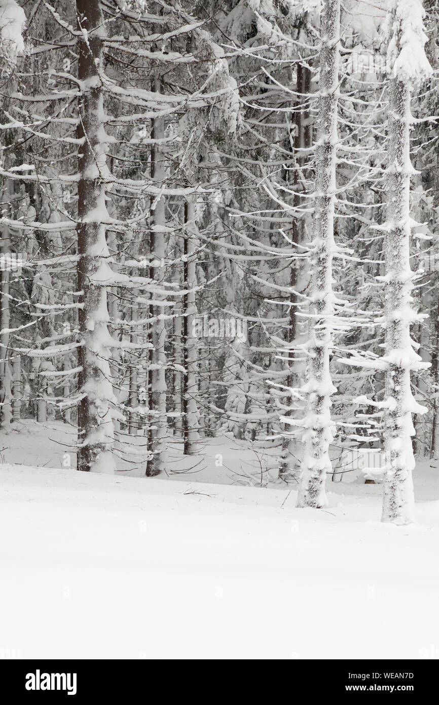 spuce trees covered snow or magic winter scenery Stock Photo