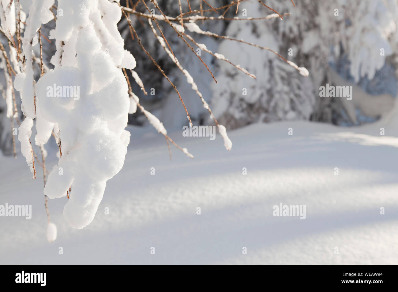 beautiful winter background or branch covered snow Stock Photo