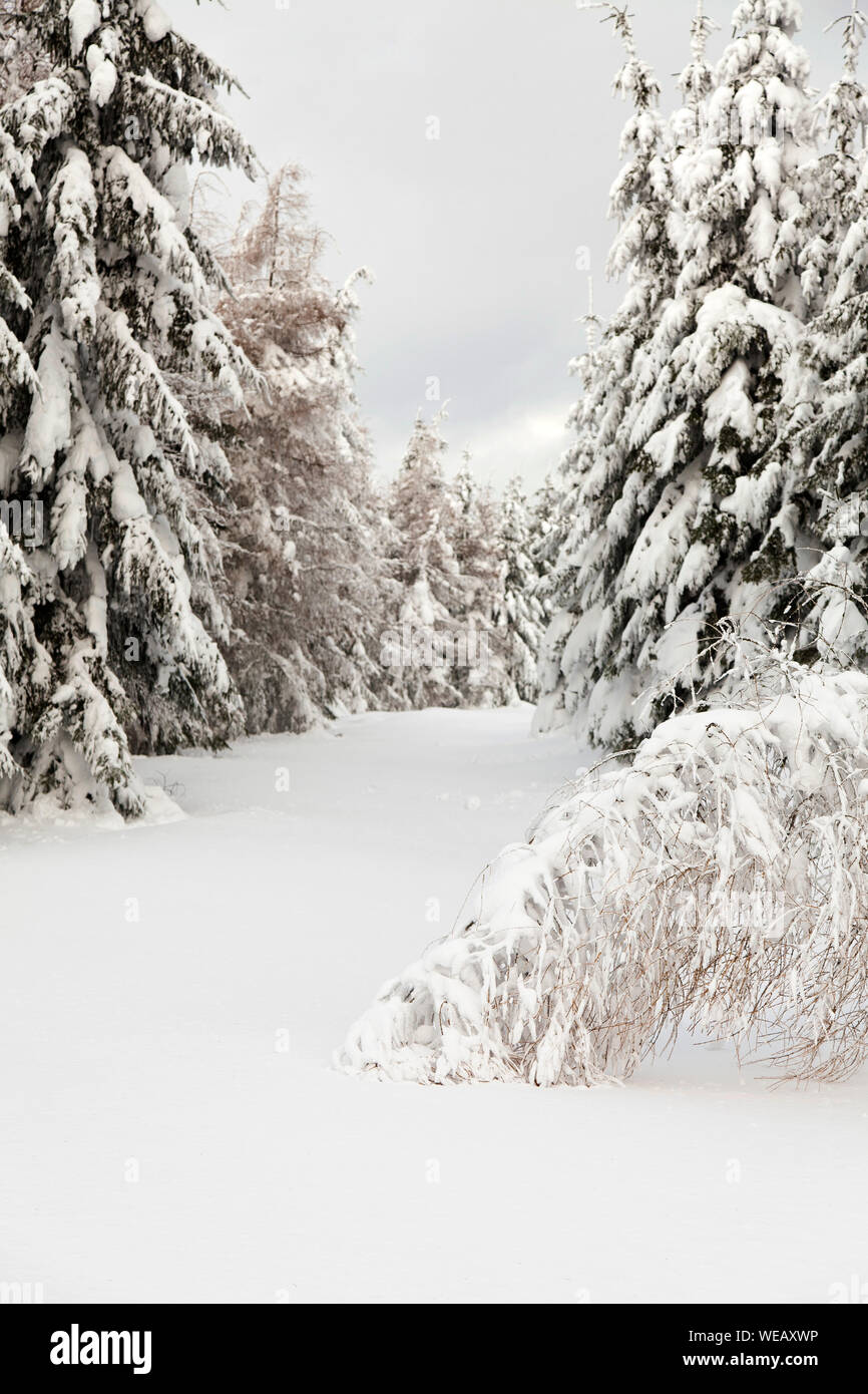 winter forest view with trees covered snow Stock Photo