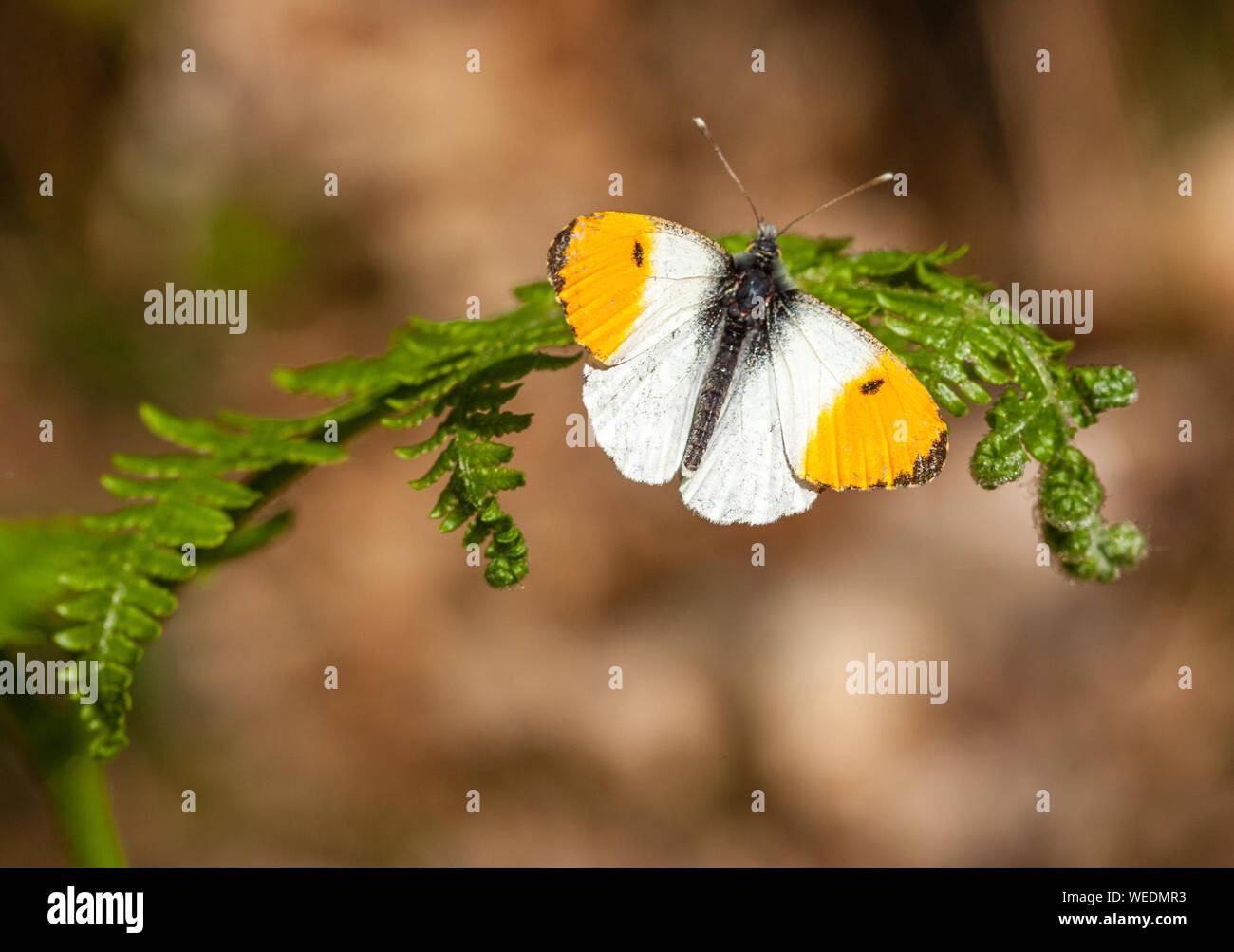 Orange tip Anthocharis cardamines male resting on bracken frond - Somerset UK Stock Photo