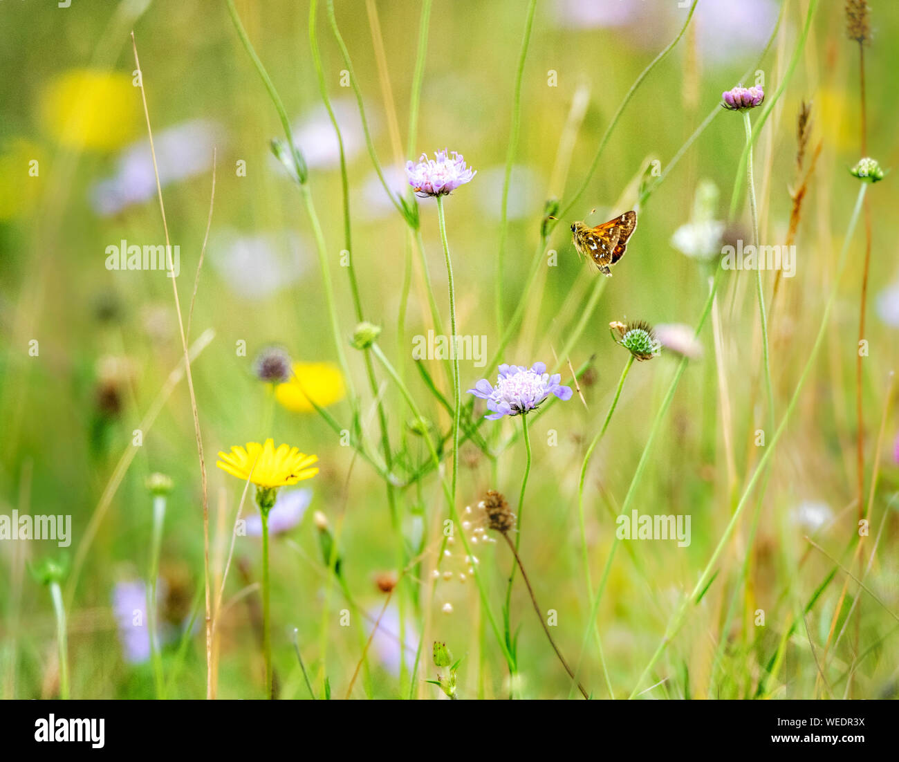 Silver spotted skipper Hesperia comma flying between scabious flowers at Newtimber Hill on the South Downs East Sussex UK Stock Photo