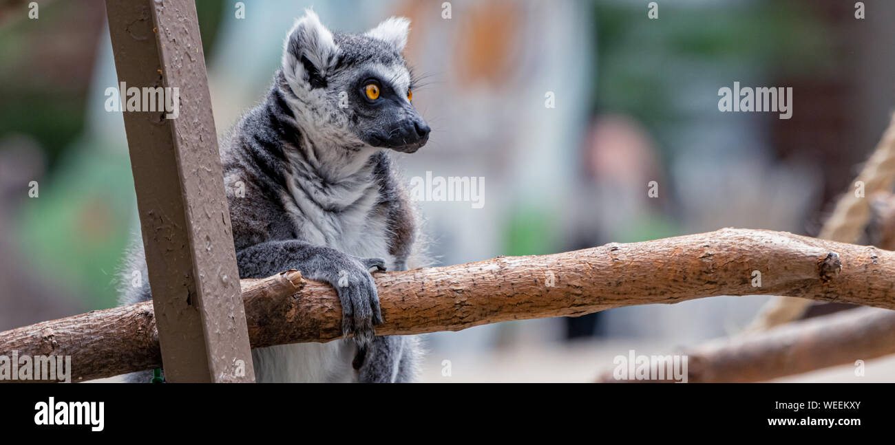 """Captive"" Ring-Tailed Lemur (Lemur catta) is a large strepsirrhine primate at Washington Park Zoo in Michigan City, Indiana. Stock Photo"