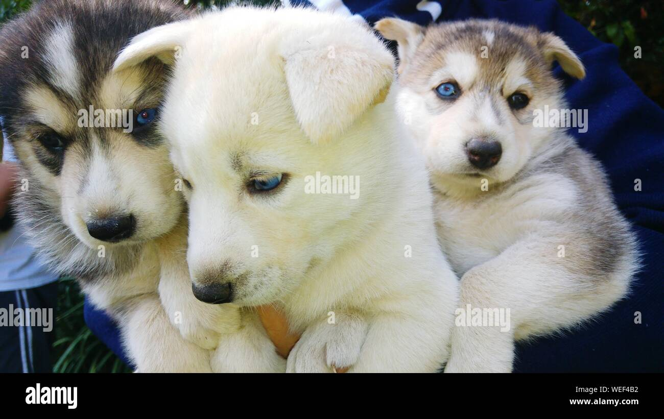Midsection Of Person Holding Siberian Husky Puppies Stock Photo Alamy
