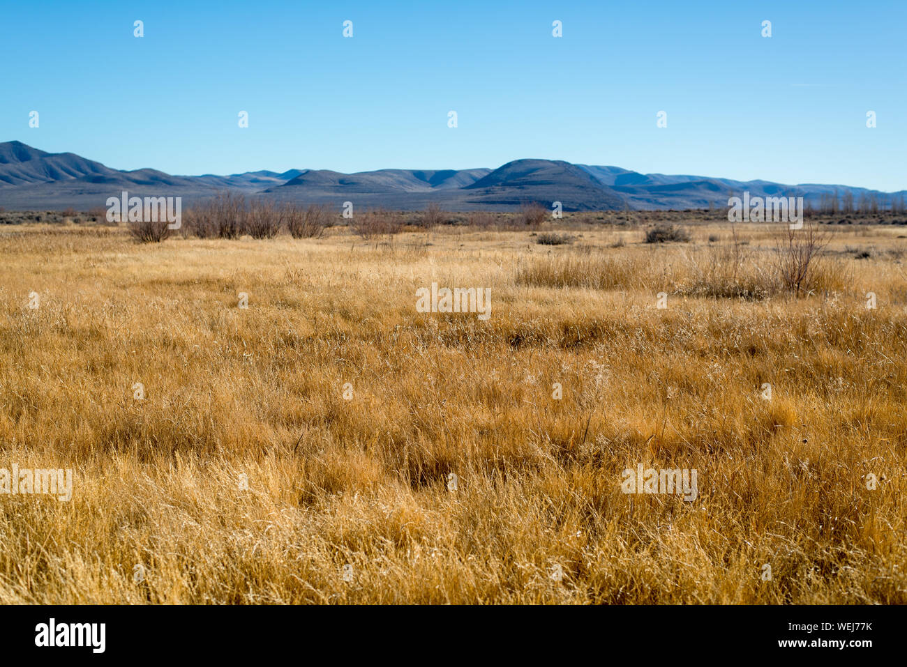USA, Nevada, Churchill County, Stillwater National Wildlife Refuge. A field of golden grasses covering this seasonally inundated wetland. Stock Photo