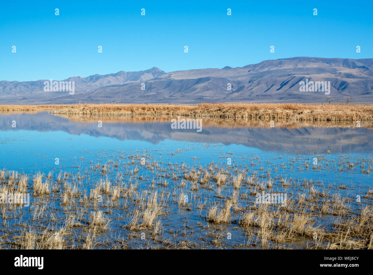 USA, Nevada, Churchill County, Stillwater National Wildlife Refuge. Strong blue yellow color contrast in the reflection of Foxtail Lake reeds. Stock Photo