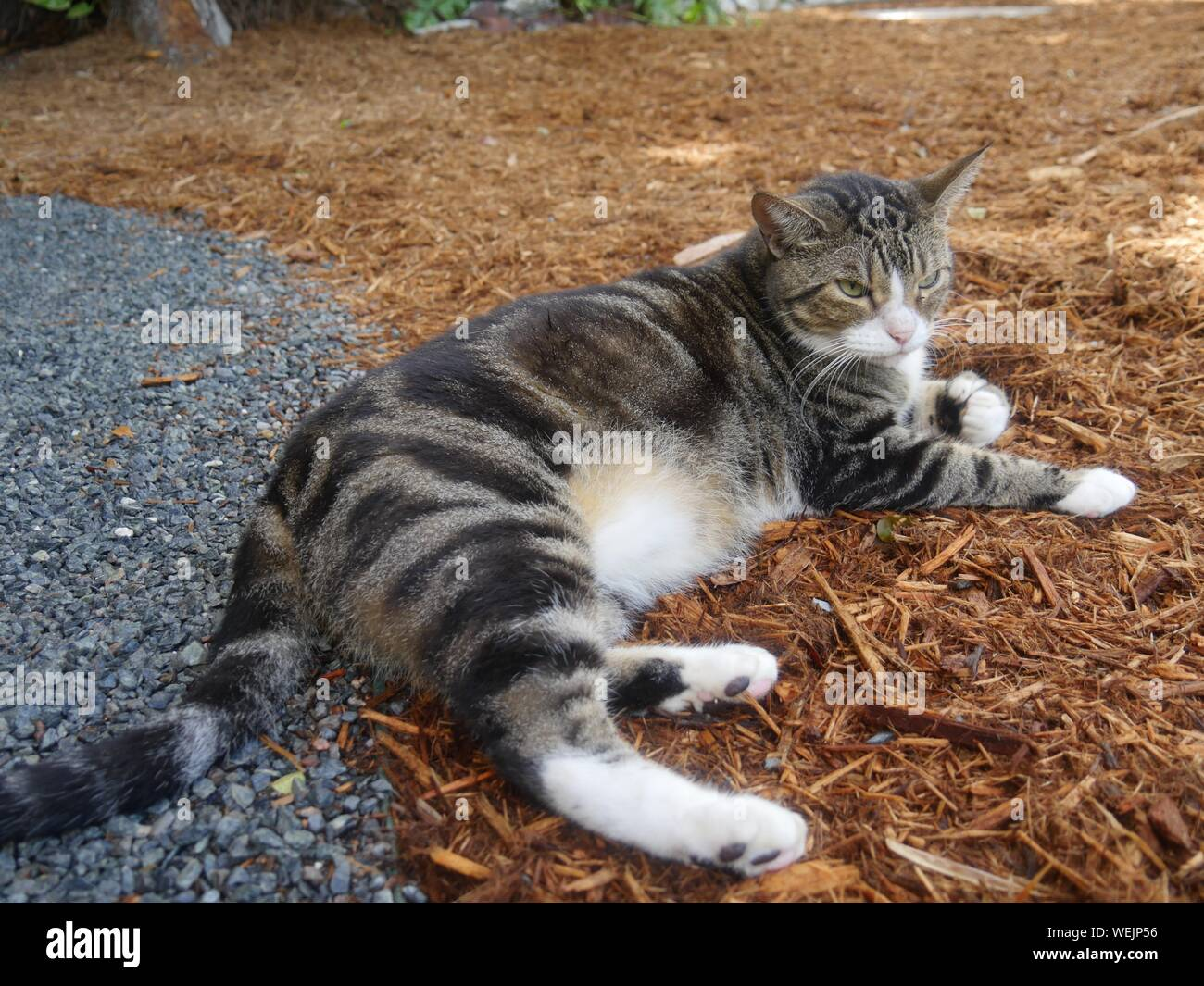One of the cats at the Ernest Hemingway house in Key West, Florida. Stock Photo