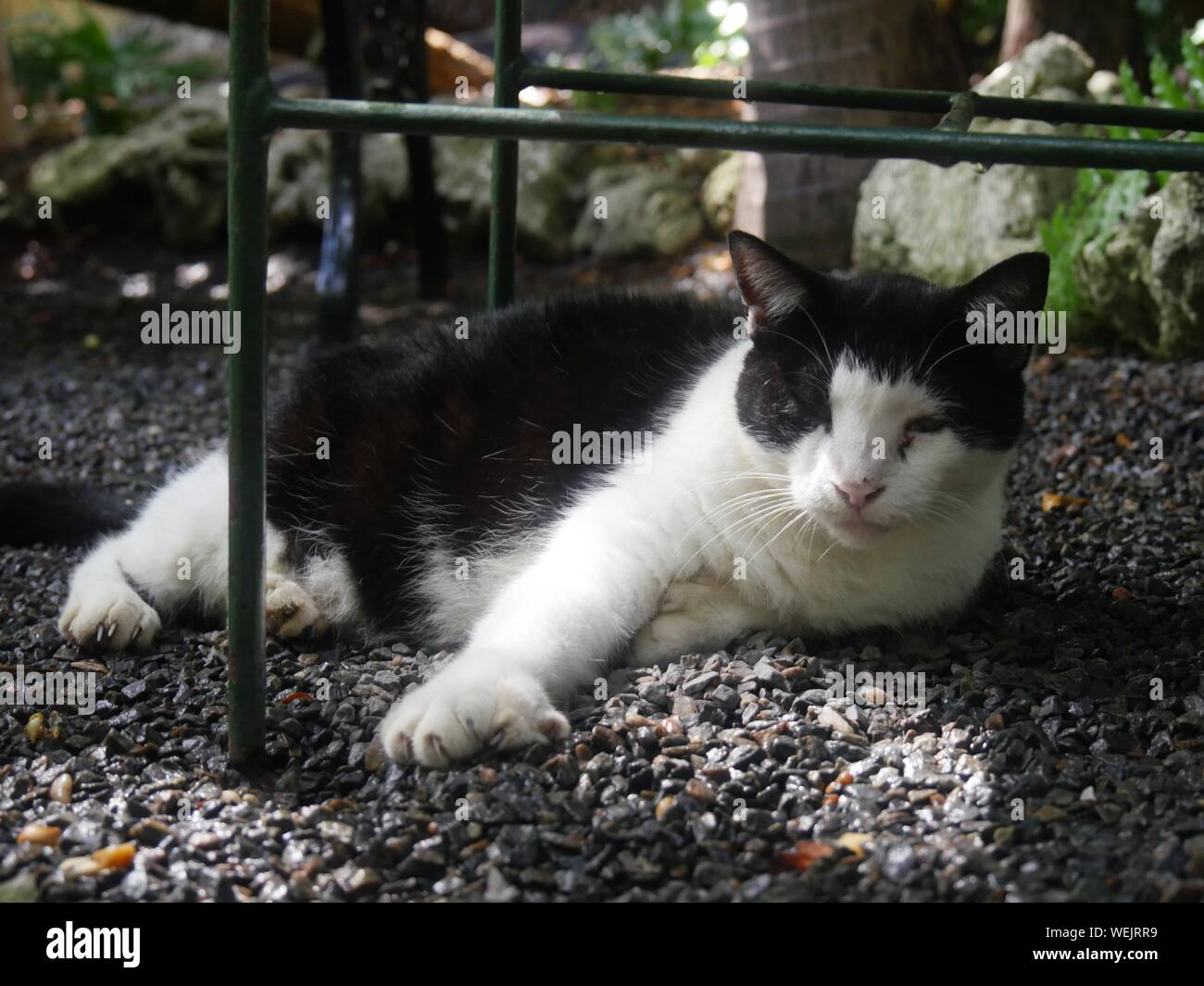 A six-toed black and white cat at the Hemingway house in Key West, Florida. Stock Photo