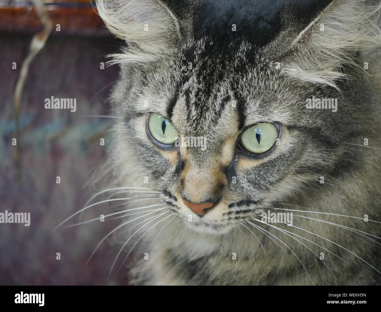 Close up of one of the pampered cats at the Hemingway house in Key West, Florida. Stock Photo