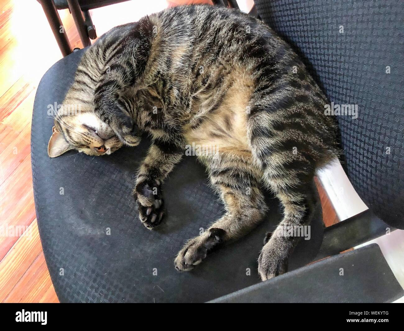 A pampered cat sleeps in a chair at the Ernest Hemingway house in Key West, Florida. Stock Photo