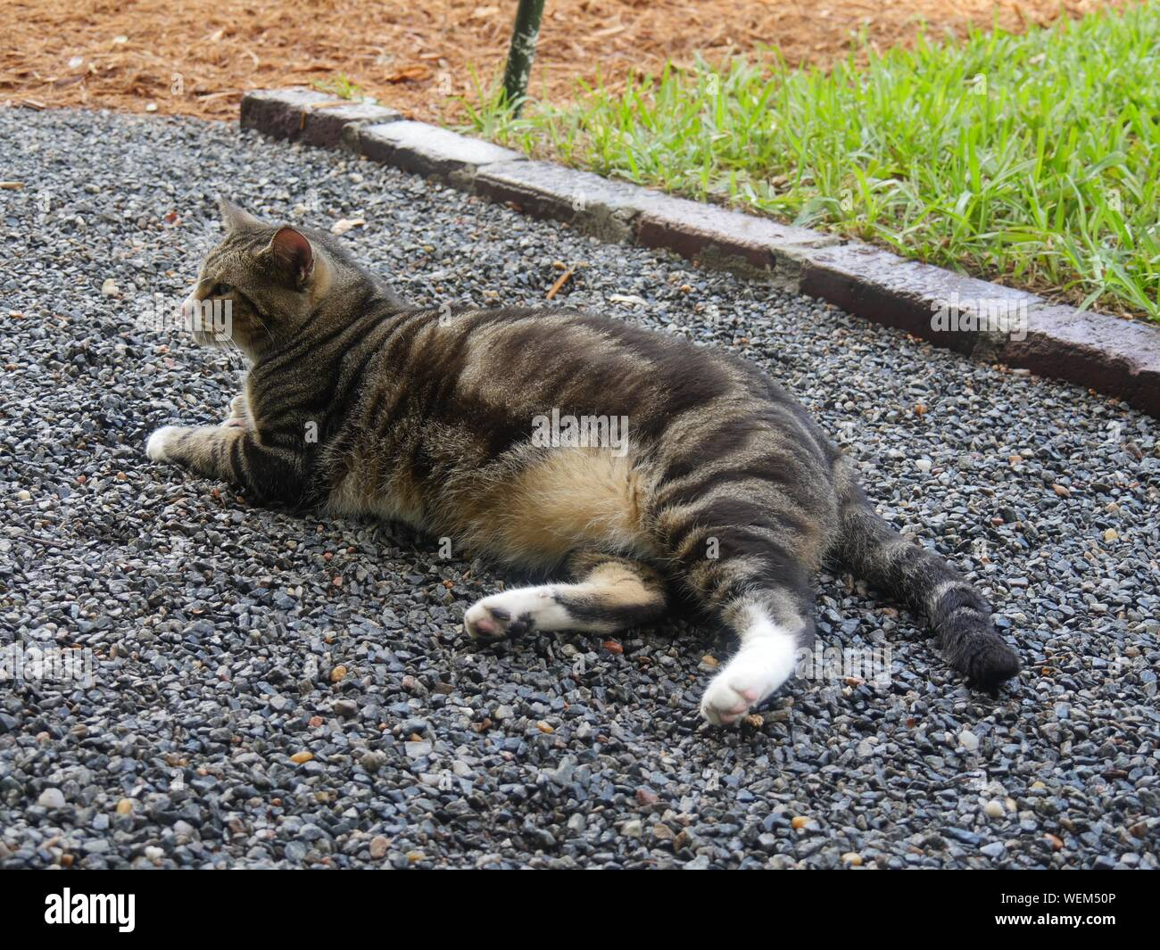 A pampered cat on the grounds at the Ernest Hemingway gardens in Key West, Florida. Stock Photo