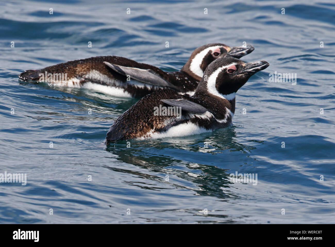 Magellanic Penguin (Spheniscus magellanicus) two adults swimming in sea  Puerto Montt, Chile             January Stock Photo