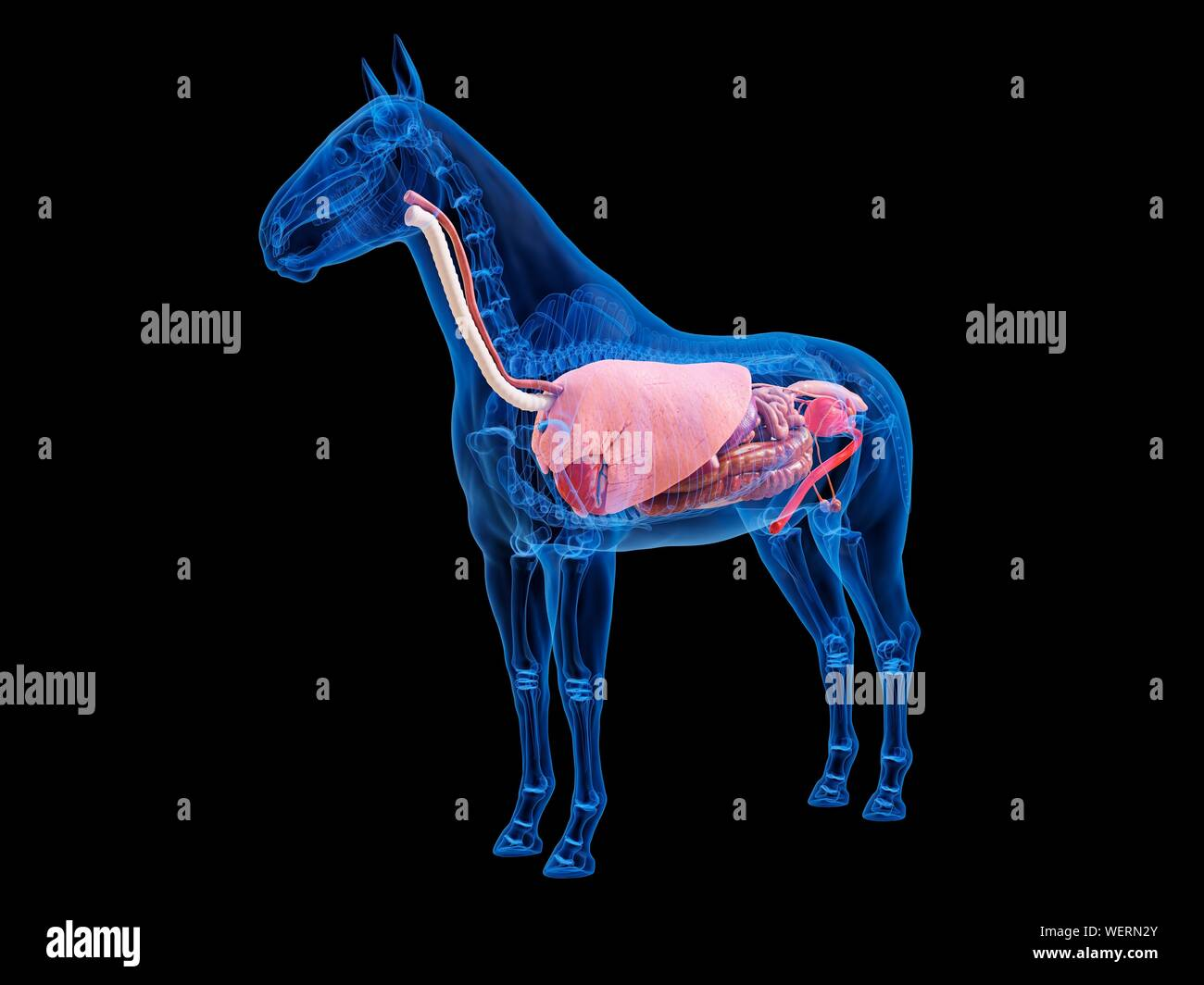 Horse Anatomy Liver High Resolution Stock Photography And Images Alamy