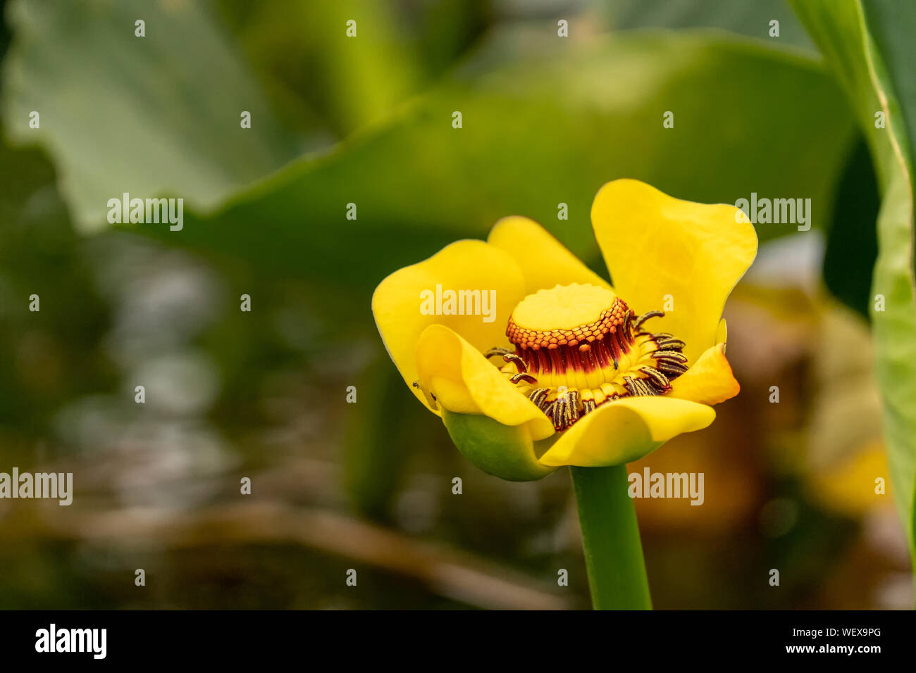 Issaquah, Washington, USA.  The single, yellow, fleshy flower of Nuphar lutea, with its prominent, lobed stigma is the best known feature.  The leaves Stock Photo