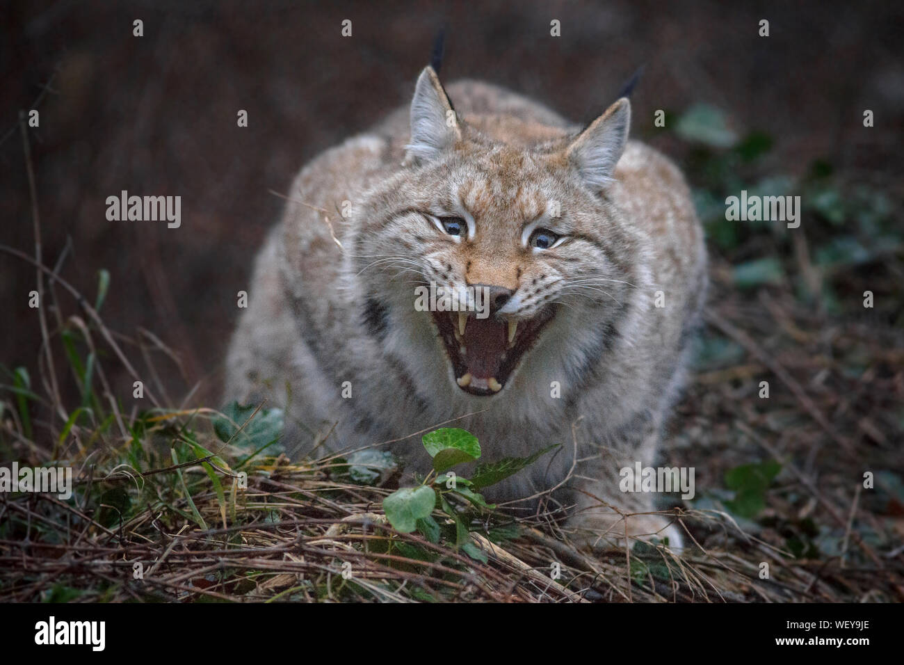 Portrait Of Undomesticated Cat Stock Photo