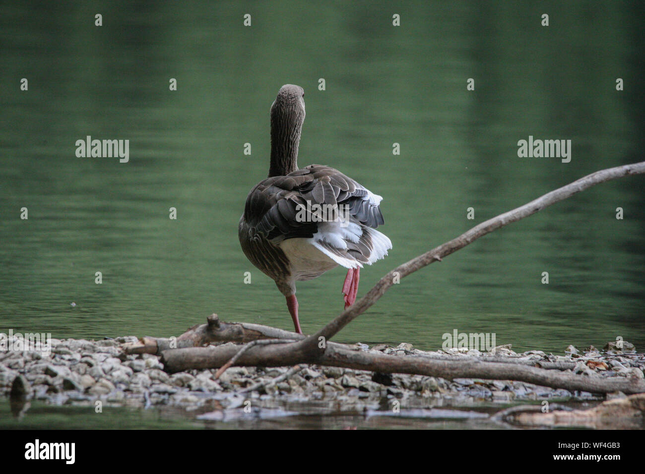 Rear View Of Gray Goose Standing On One Leg Stock Photo