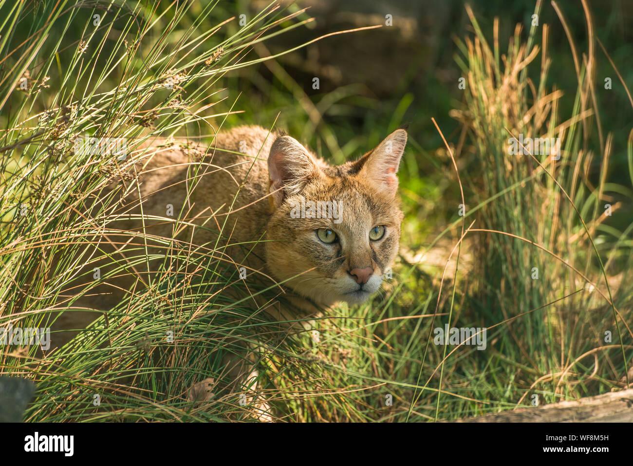 Close-up Of Undomesticated Cat On Grassy Field Stock Photo