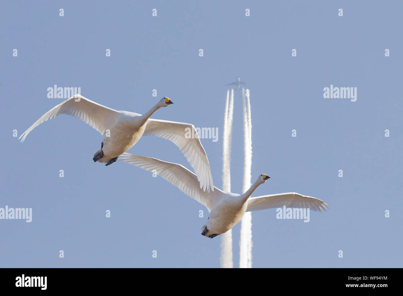 Low Angle View Of Two Swans Flying Against Distant Airplane Stock Photo