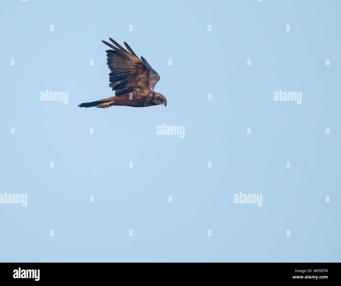 A young Marsh harrier (Circus aeruginosus) in flight over Suffolk Stock Photo