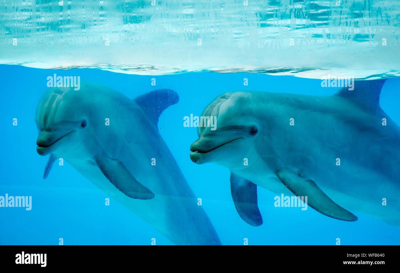Dolphins Swimming In Aquarium Stock Photo