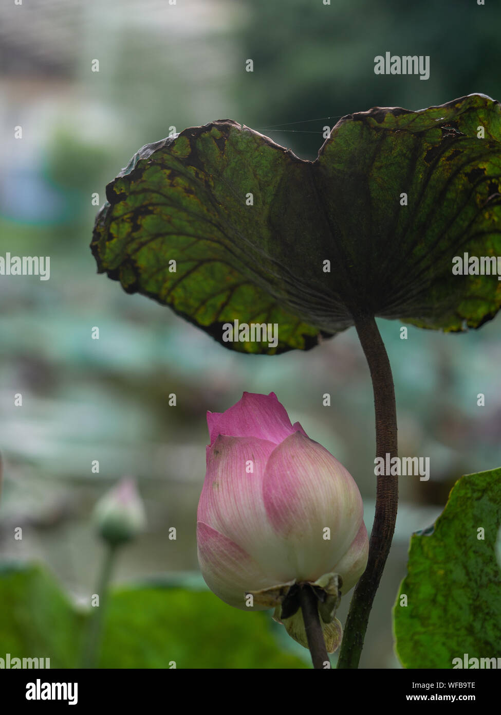 pink lotus flower in the pond on blurred background, Reflects water sunset, Religious or spa background Stock Photo