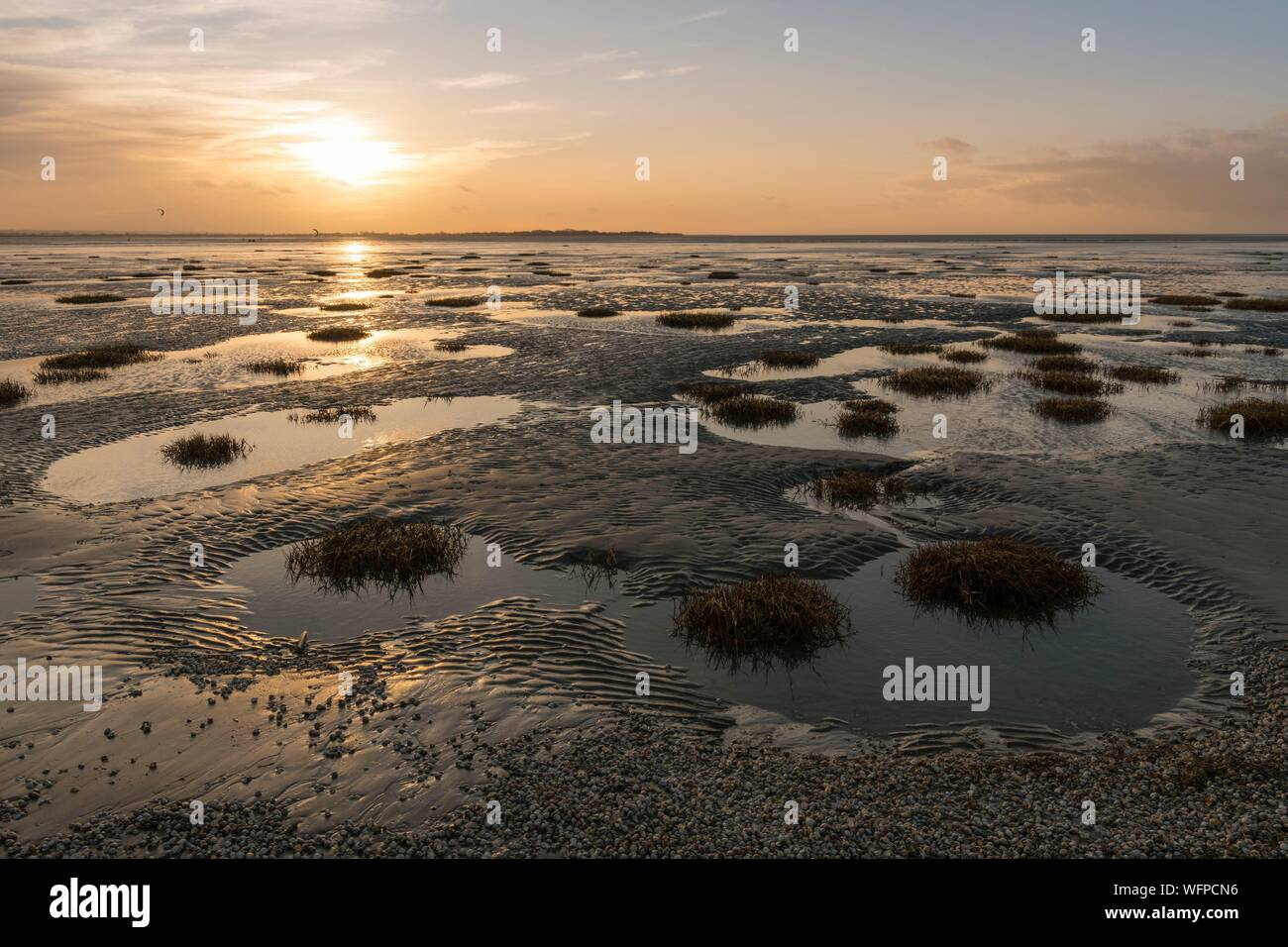 France, Somme, Somme Bay, Crotoy Beach, Tufts of Townsend Spartine (Spartina townsendii); from the Crotoy beach we measure the silting of the Somme Bay and the progression of colonizing pioneer plants Stock Photo