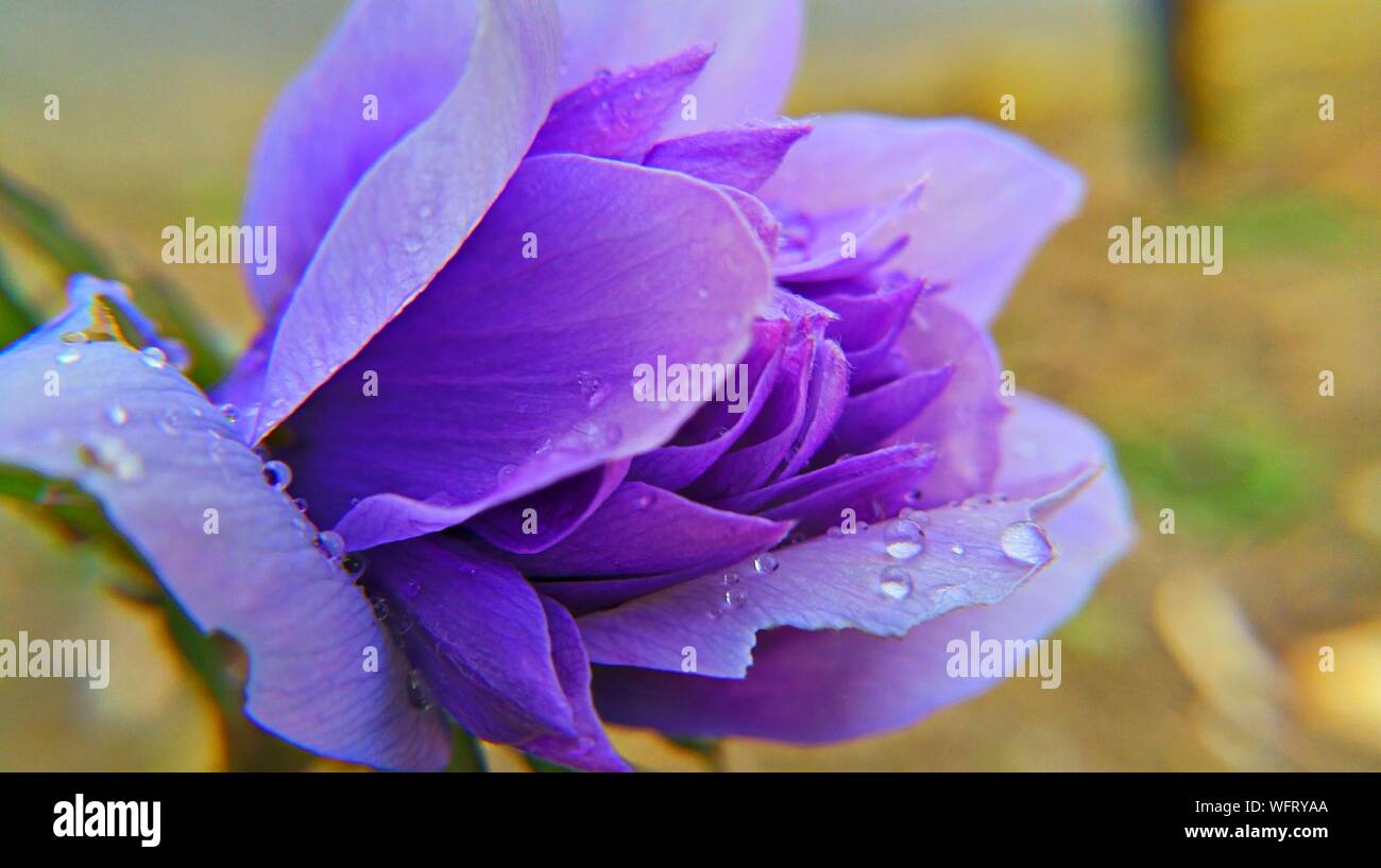 Close-up Of Purple Flowers Blooming - Stock Photo