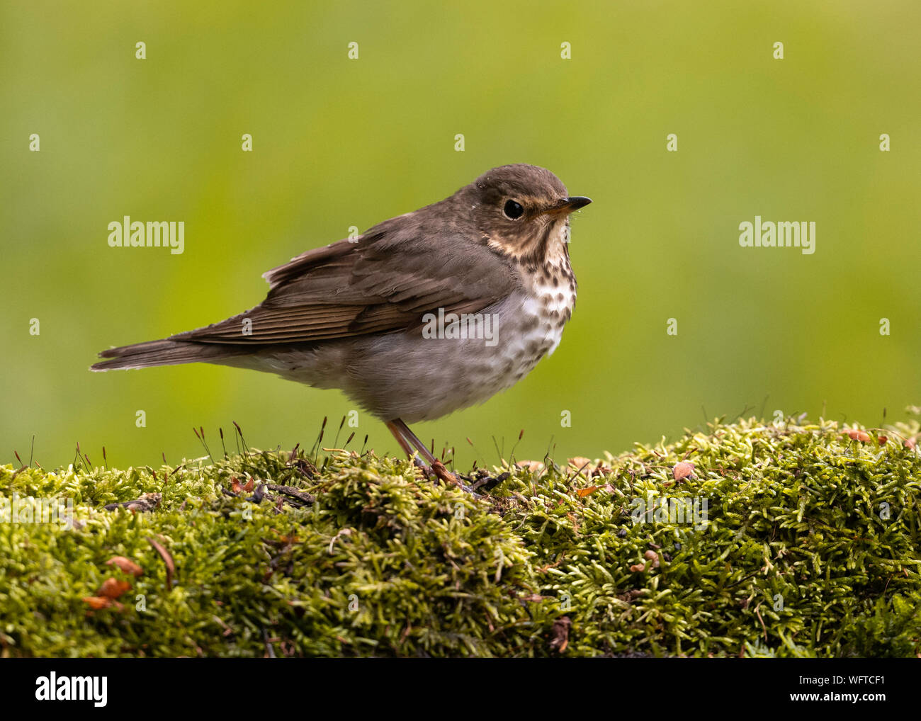 Swainson' Thrush at water drip during spring migration in Galveston Texas Stock Photo