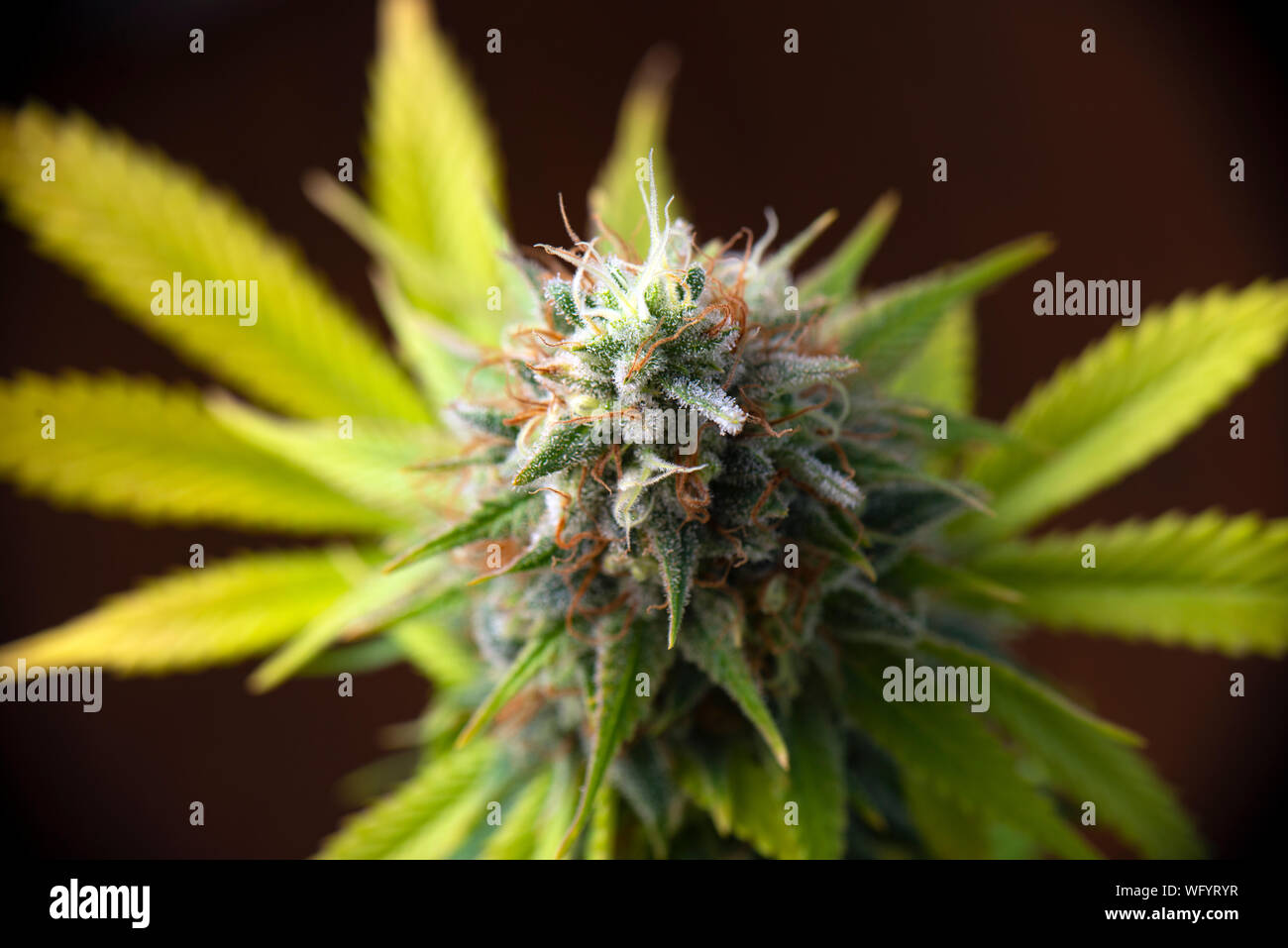 Detail of cannabis flower (white critical strain) growing indoors - medical marijuana cultivationc oncept Stock Photo