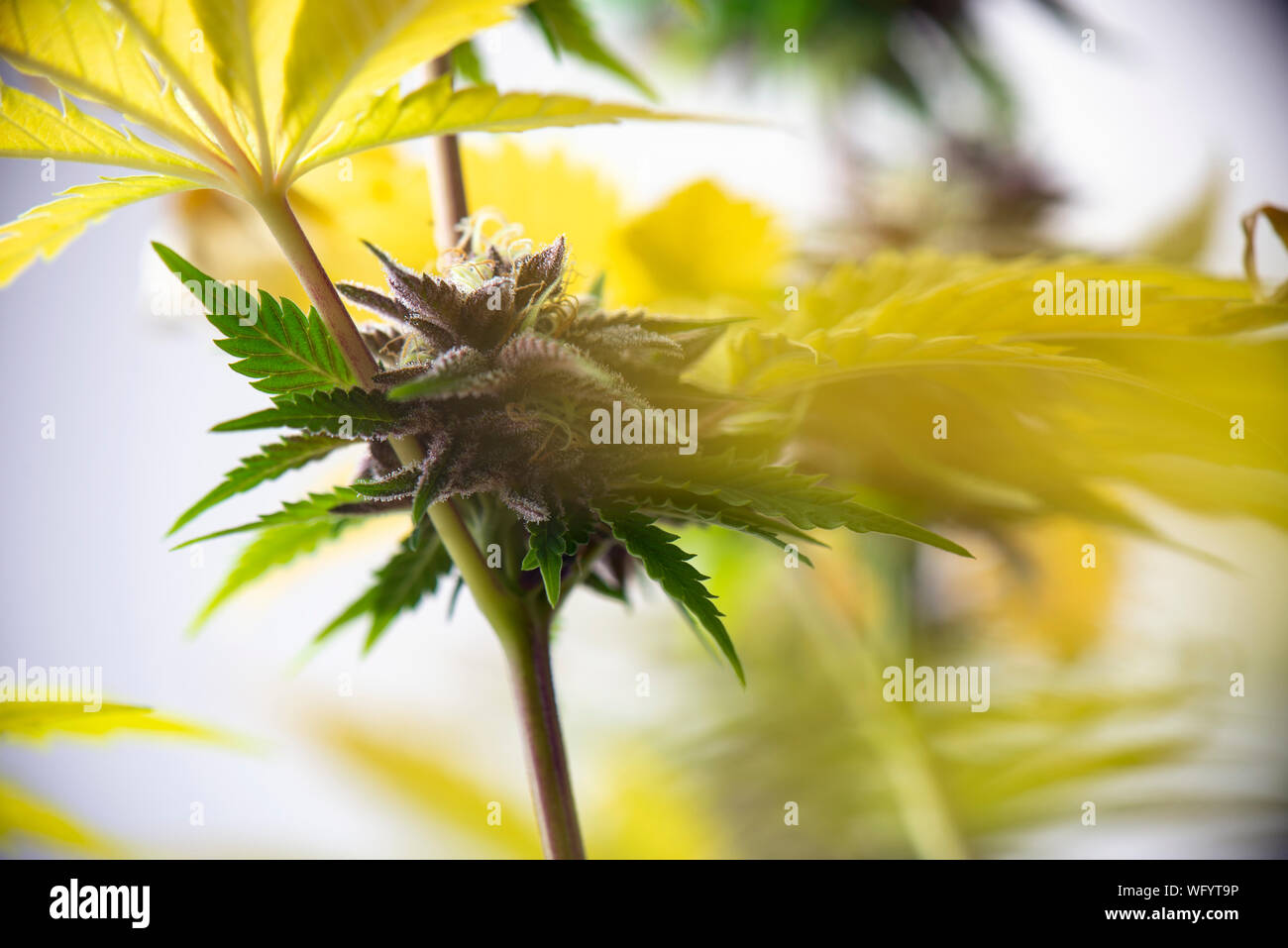 Detail of cannabis flower (purple queen hybrid strain) growing indoors - medical marijuana cultivationc oncept Stock Photo