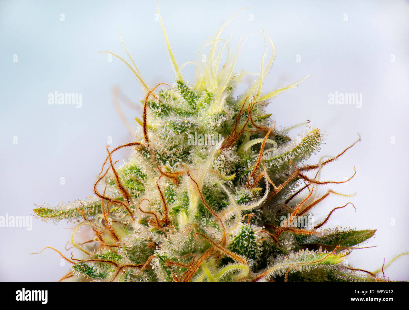 Macro detail of Cannabis flower (white critical strain) with visible trichomes, medical marijuana concept Stock Photo