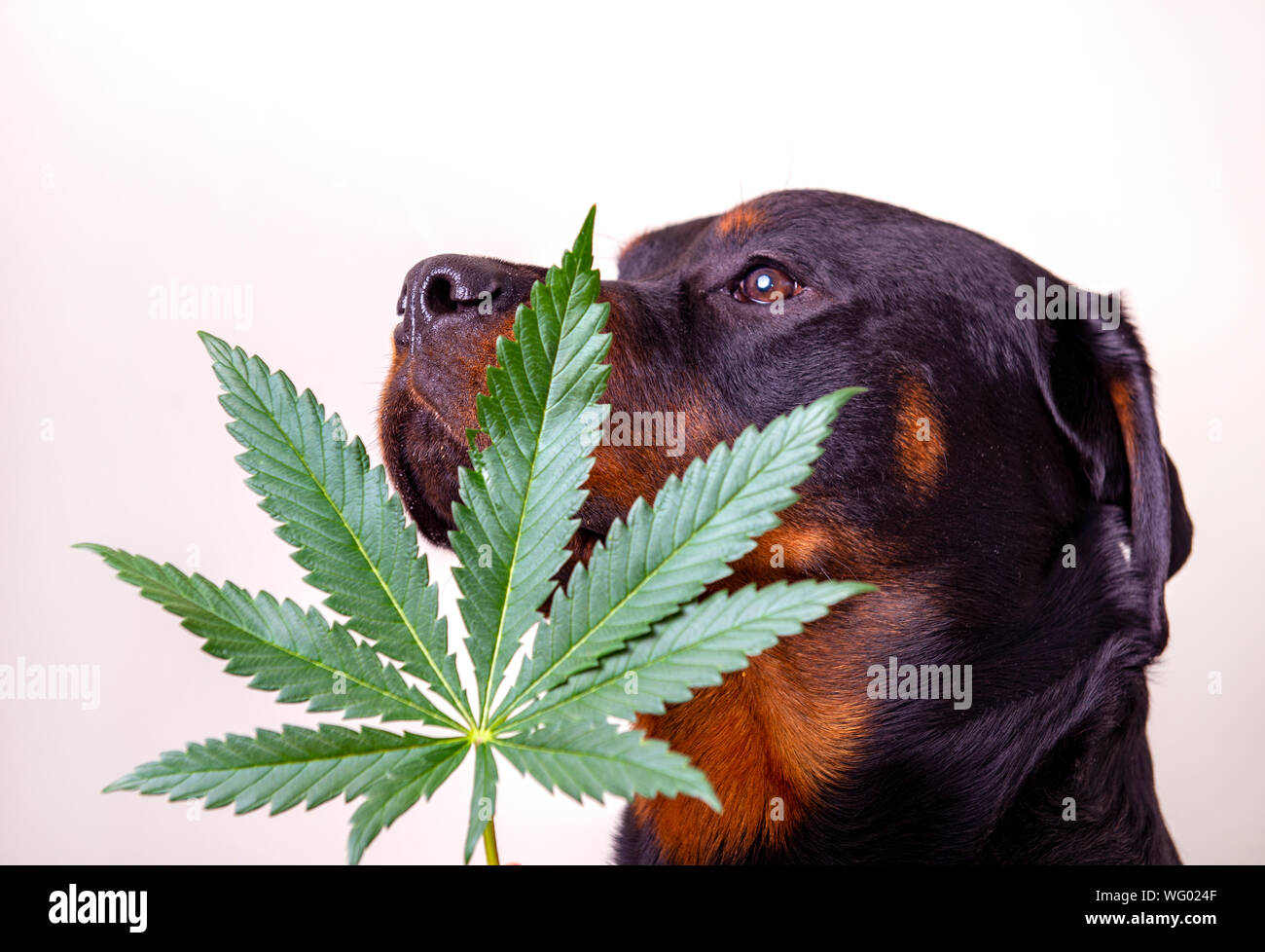 Detail of cannabis leaf and rottweiler dog isolated over white - medical marijuana for pets concept Stock Photo