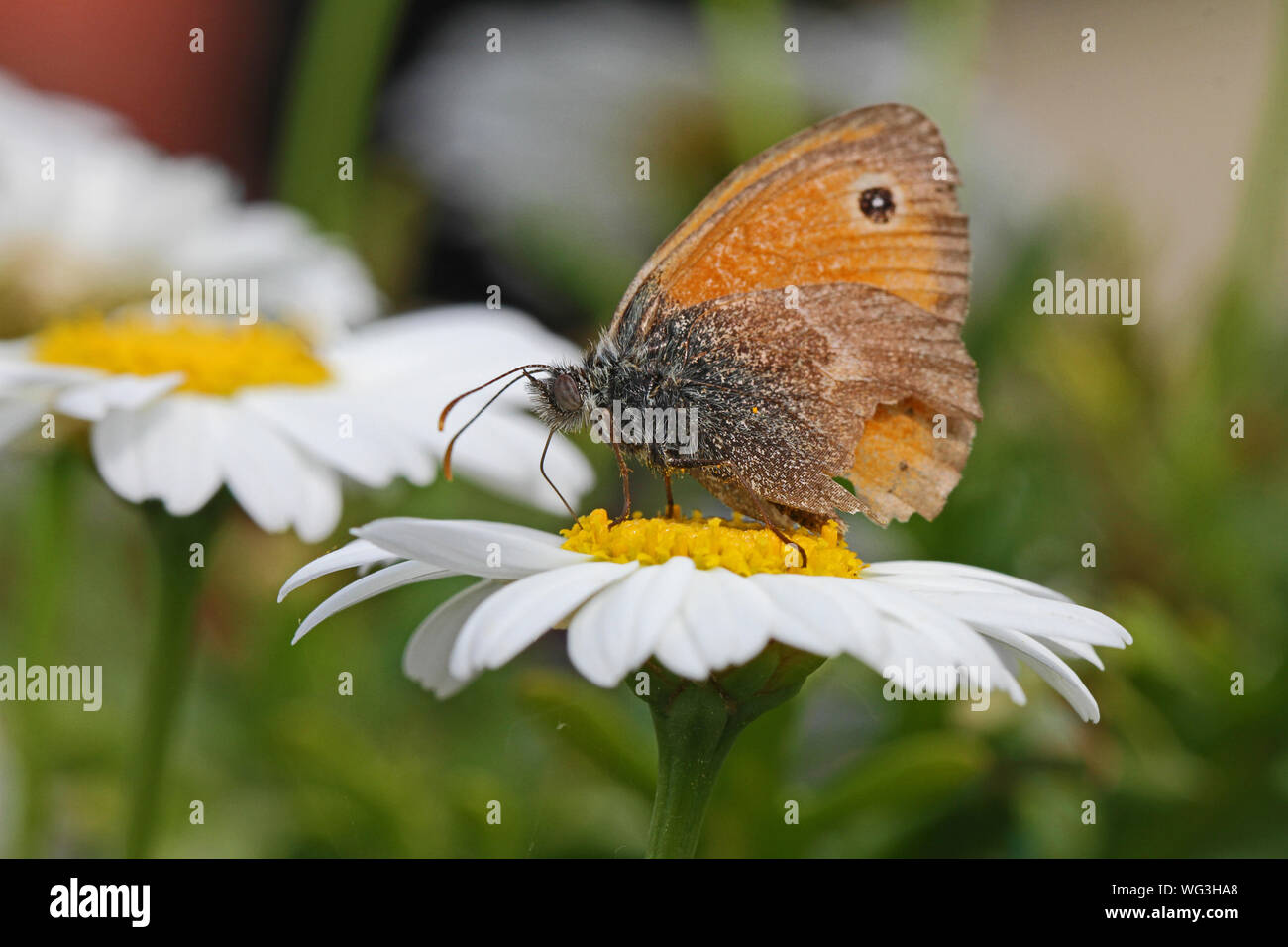 tiny small heath butterfly very close up Latin coenonympha pamphilus feeding on a marguerite or white swan river daisy Latin name brachyscome in Italy Stock Photo