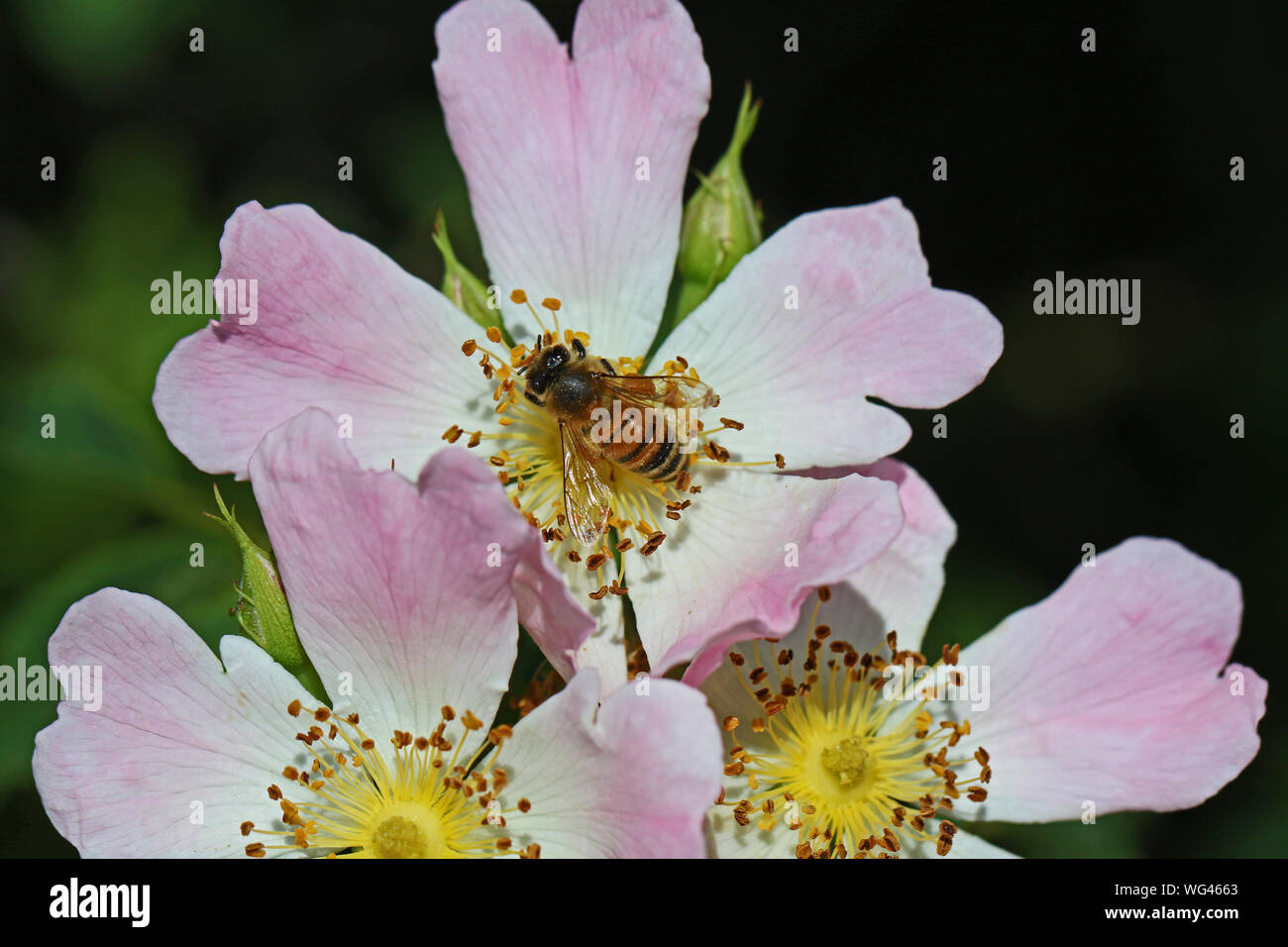 honey bee on a prairie rose or wild rose Latin rosa canina and similar to a sweet briar or eglantine state flower or state symbol of Iowa and N Dakota Stock Photo