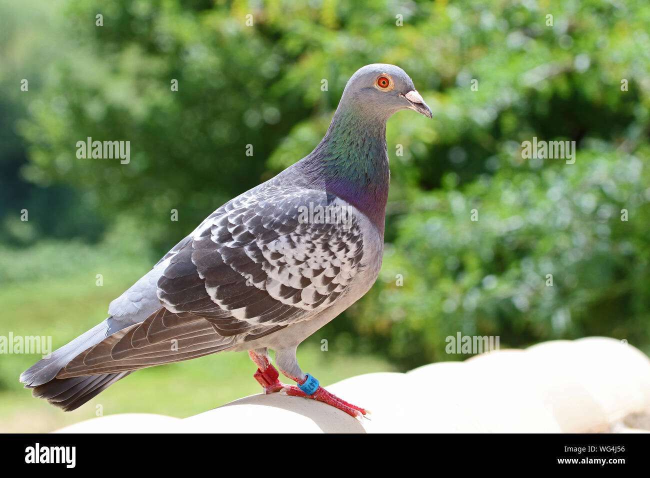 homing pigeon, racing pigeon or domestic messenger pigeon Latin columba livia domestica tags clear to see closeup on a typical pantiled roof in Italy Stock Photo