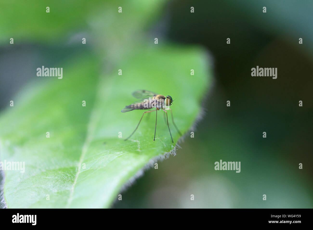 snipe fly chrysopilus asiliformis in the rhagio group of flies the rhagionidae family not rhagio scolopacea at rest on a viburnum tinus or laurustinus Stock Photo