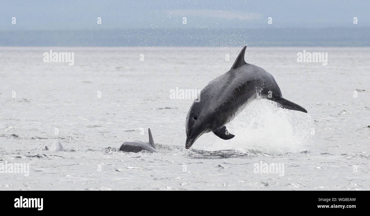 Breaching Bottlenose dolphin in the Cromarty Firth Stock Photo