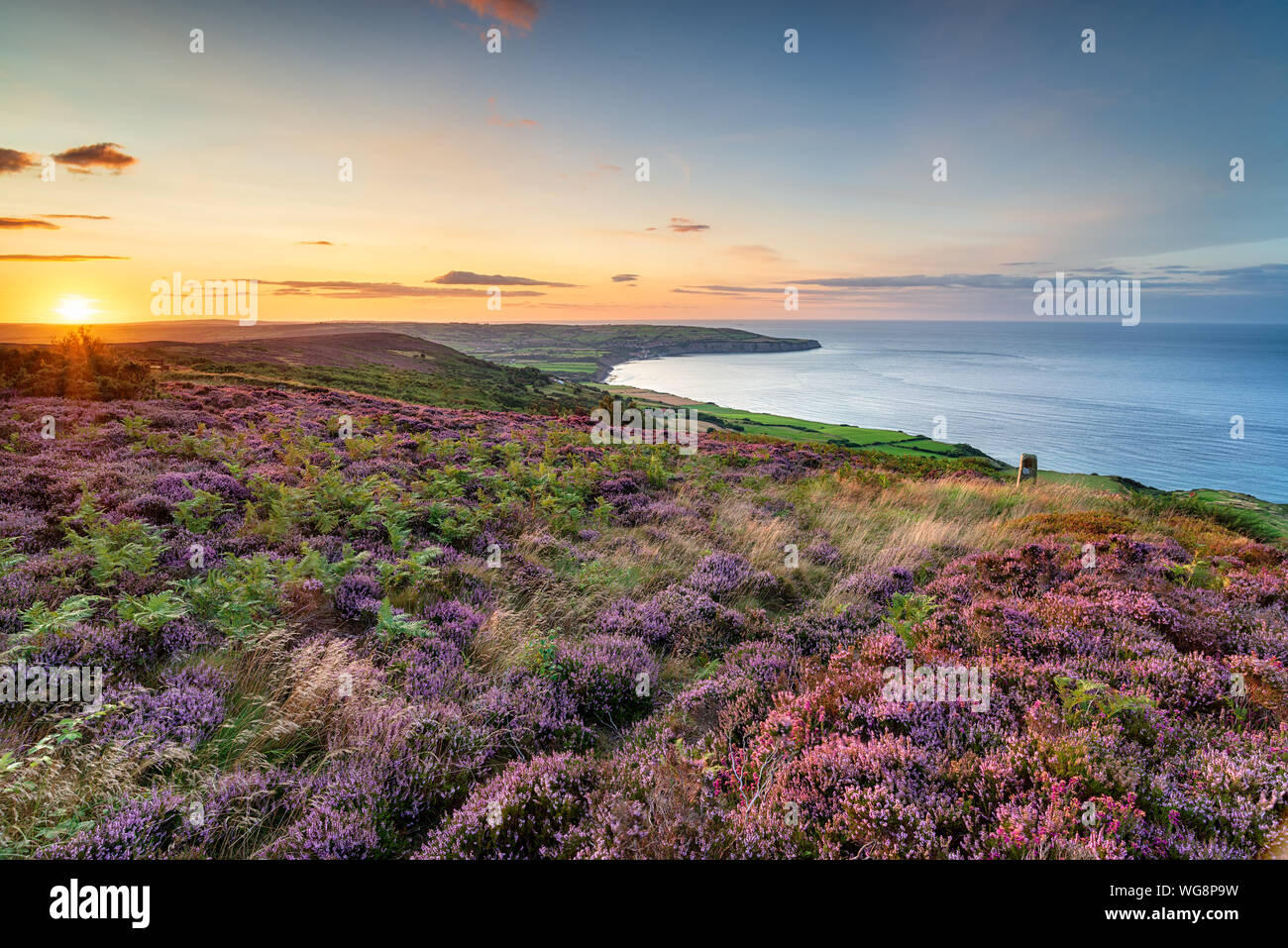 Summer heather in bloom on the North York Moors national park at Ravenscar and looking out to Robin Hood's Bay Stock Photo