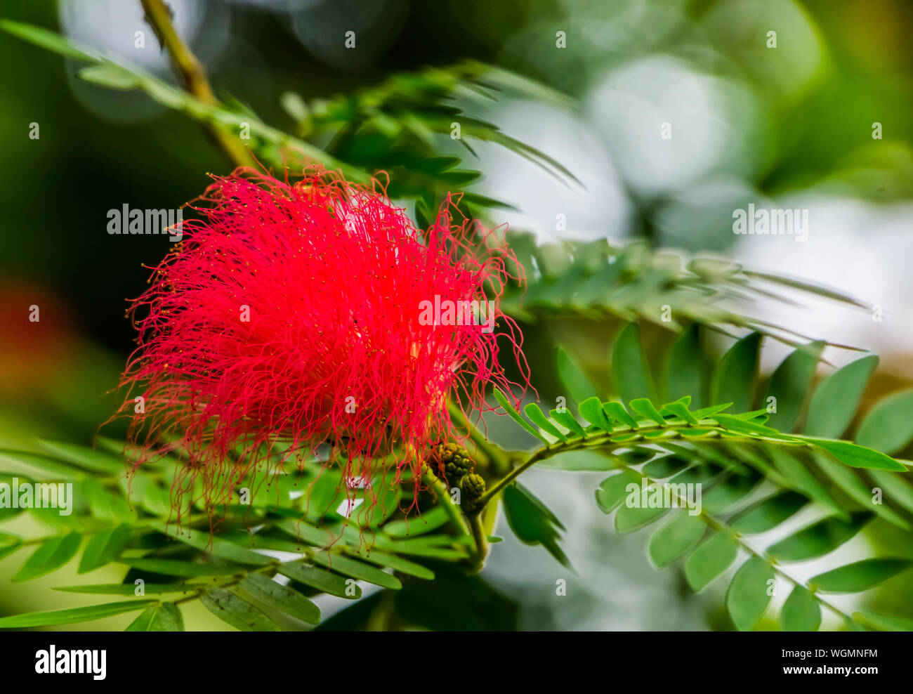 Metrosideros Specie Beautiful Red Colored Flower With Tentacles