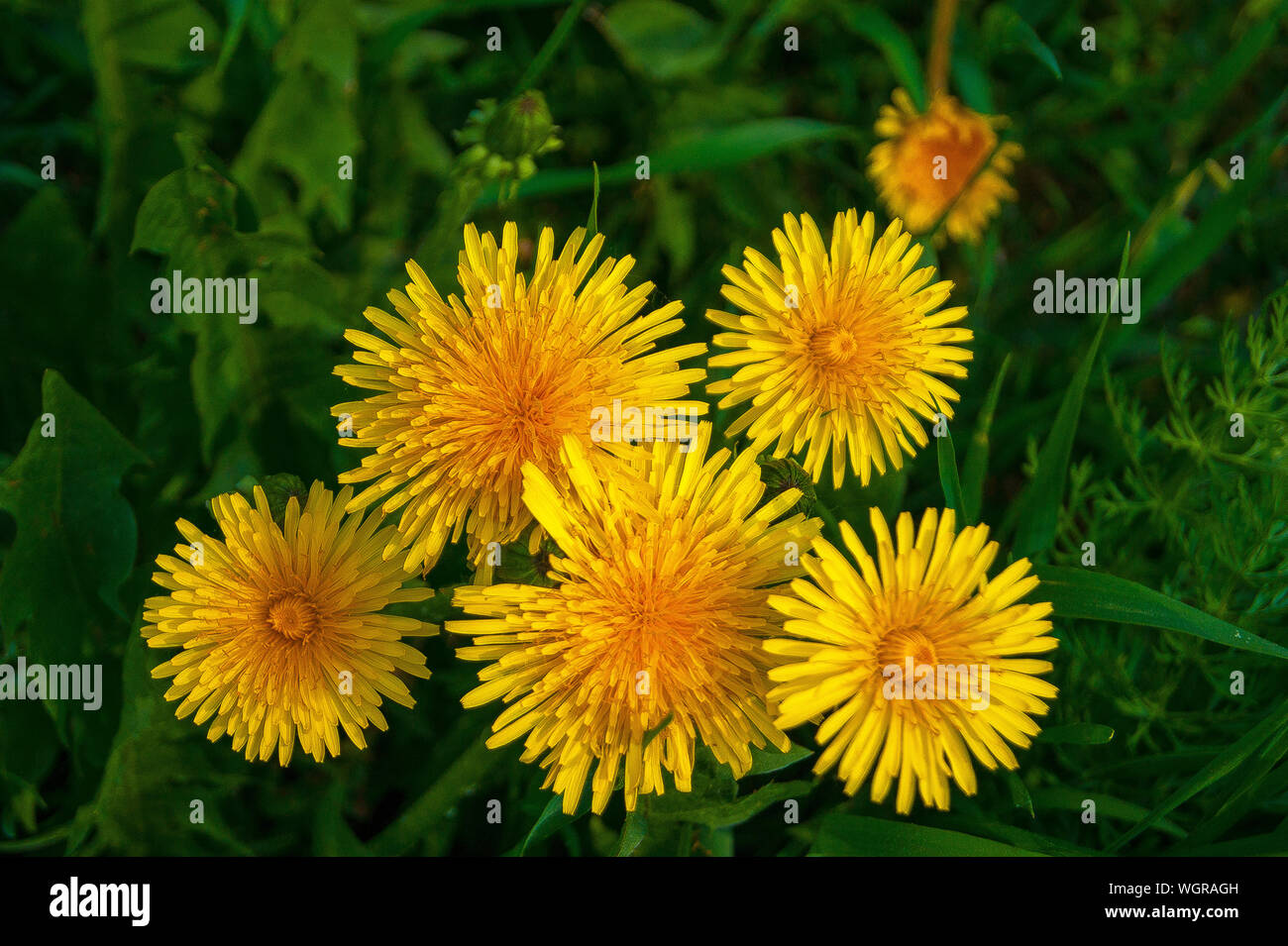 Summer. Heat. Macro shooting. Bright yellow dandelions in rich green grass. Visible every stamen and every petal Stock Photo