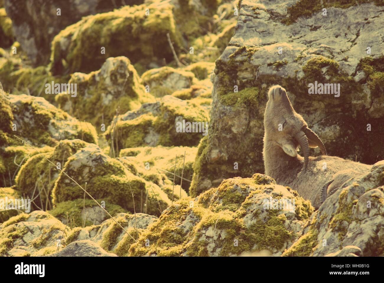 Female Bighorn Sheep Amidst Rocks Stock Photo
