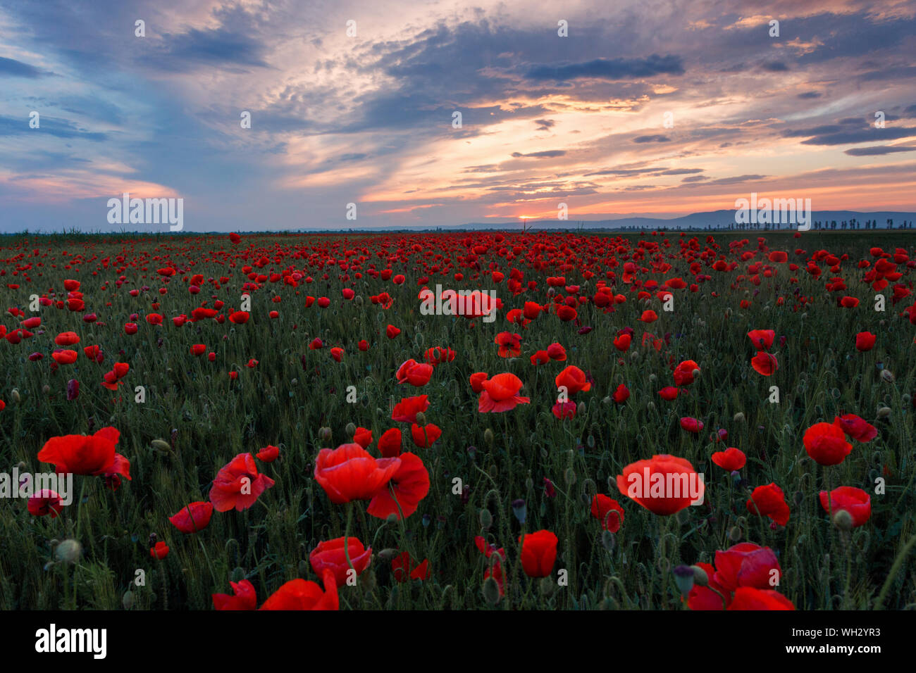Poppies Growing In Field Against Sky During Sunset Stock Photo