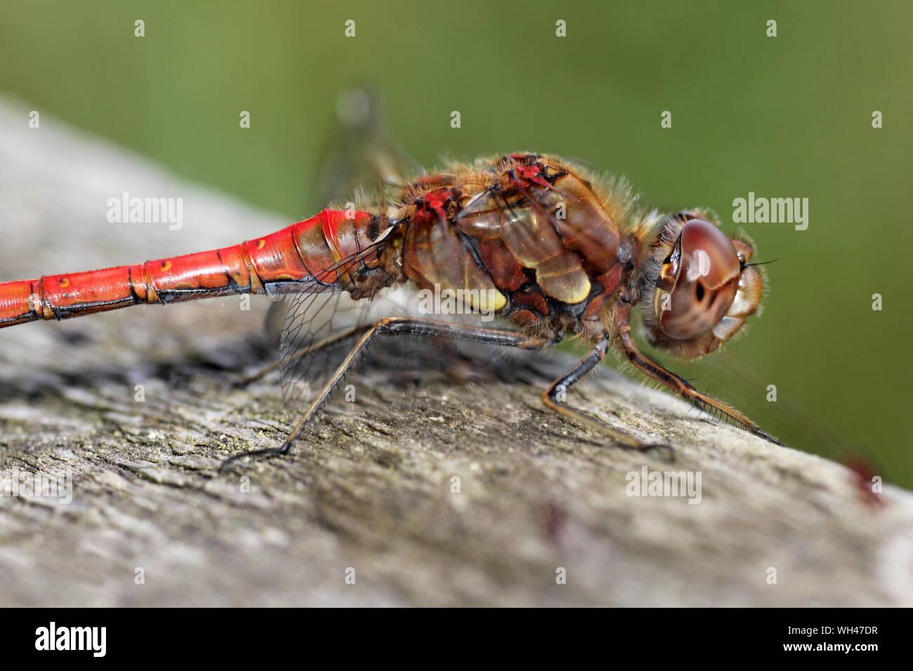 Common Darter Sympetrum striolatum - male Stock Photo