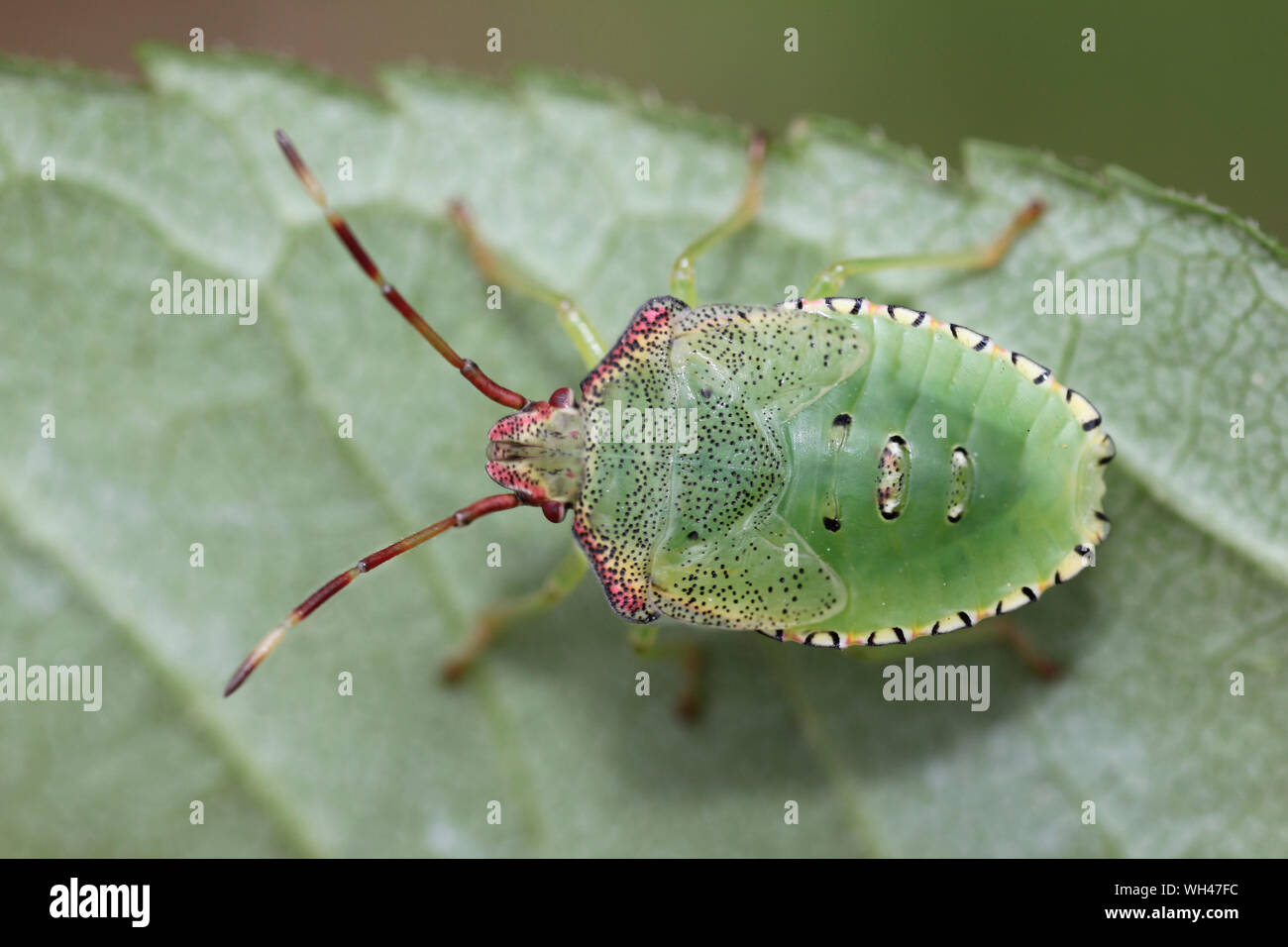 Hawthorn Shieldbug Acanthosoma haemorrhoidale nymph Stock Photo