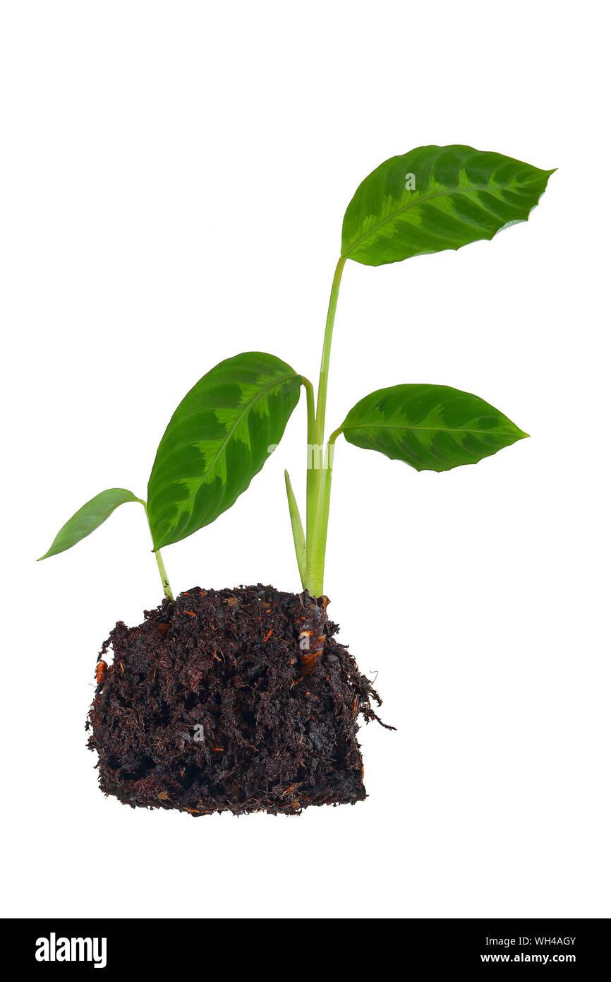 Plante verte isolé fond blanc feuilles nervures vert terre protection de l'environnement croissance à détourer feuillage terre motte avenir Stock Photo