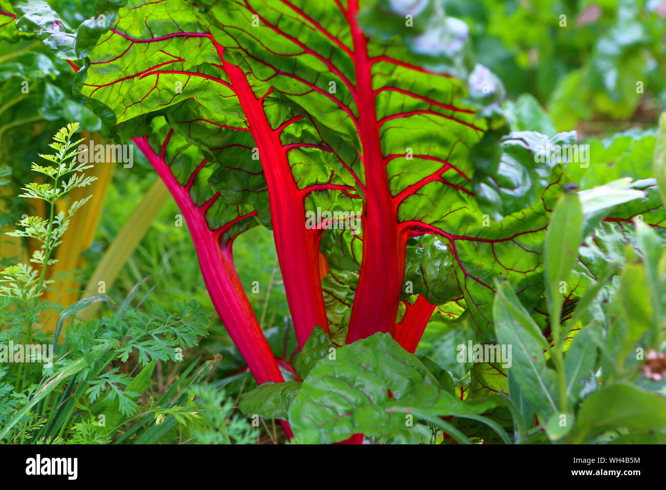 Ou Planter Une Rhubarbe rhubarbe stock photos & rhubarbe stock images - alamy