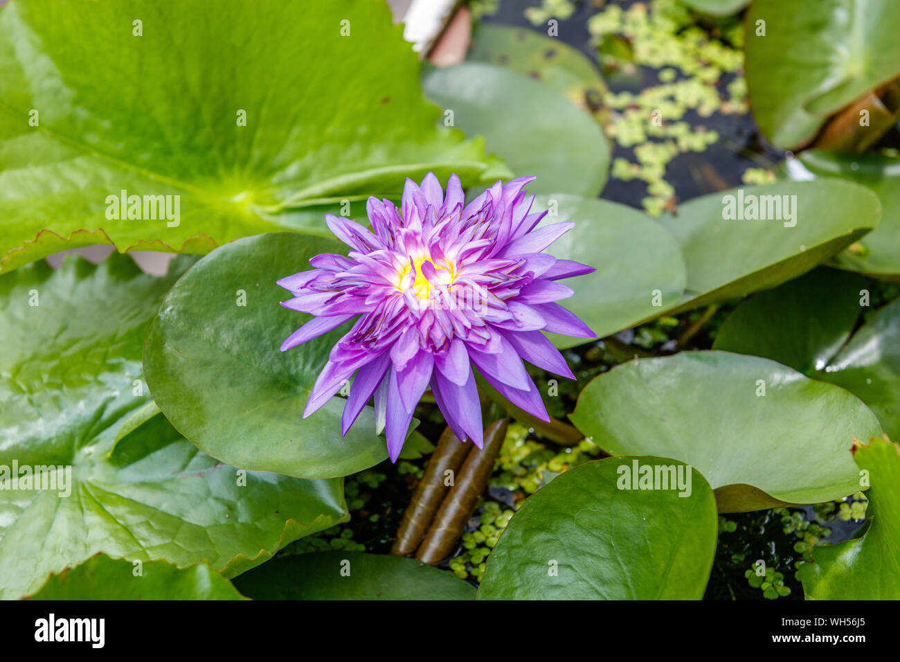 Blooming purple Water Lilly in a pot on the streets of Bangkok. Thailand. Stock Photo