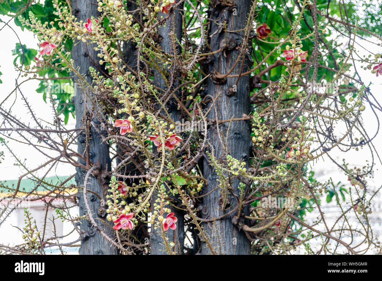 Blooming Couroupita guianensis or cannonball tree, Bangkok, Thailand. Stock Photo