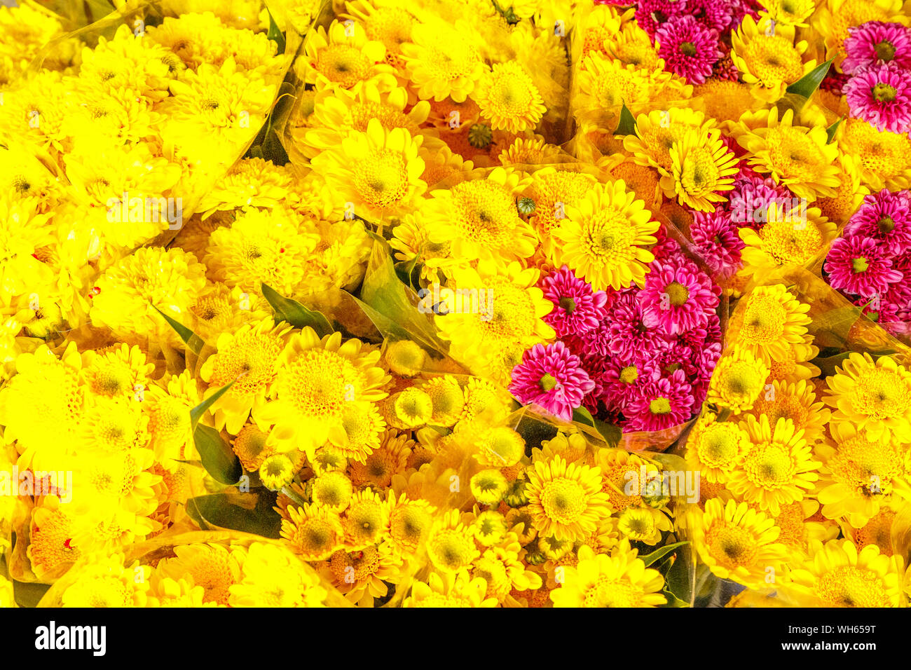 Yellow and pink chrysanthemums at Pak Khlong Talat, famous flower market in Bangkok, Thailand. Stock Photo