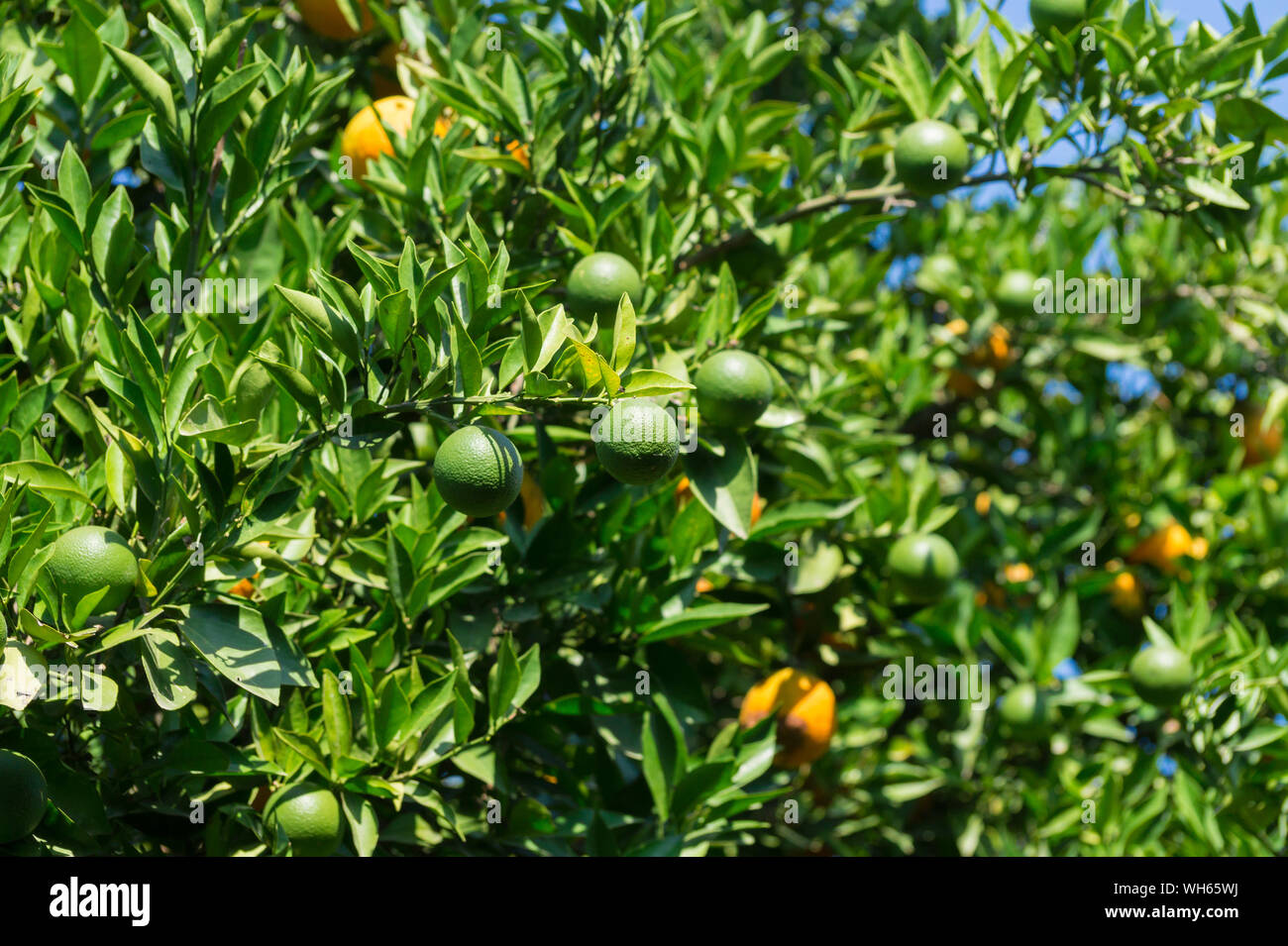 Oranges On Tree In Orchard Stock Photo