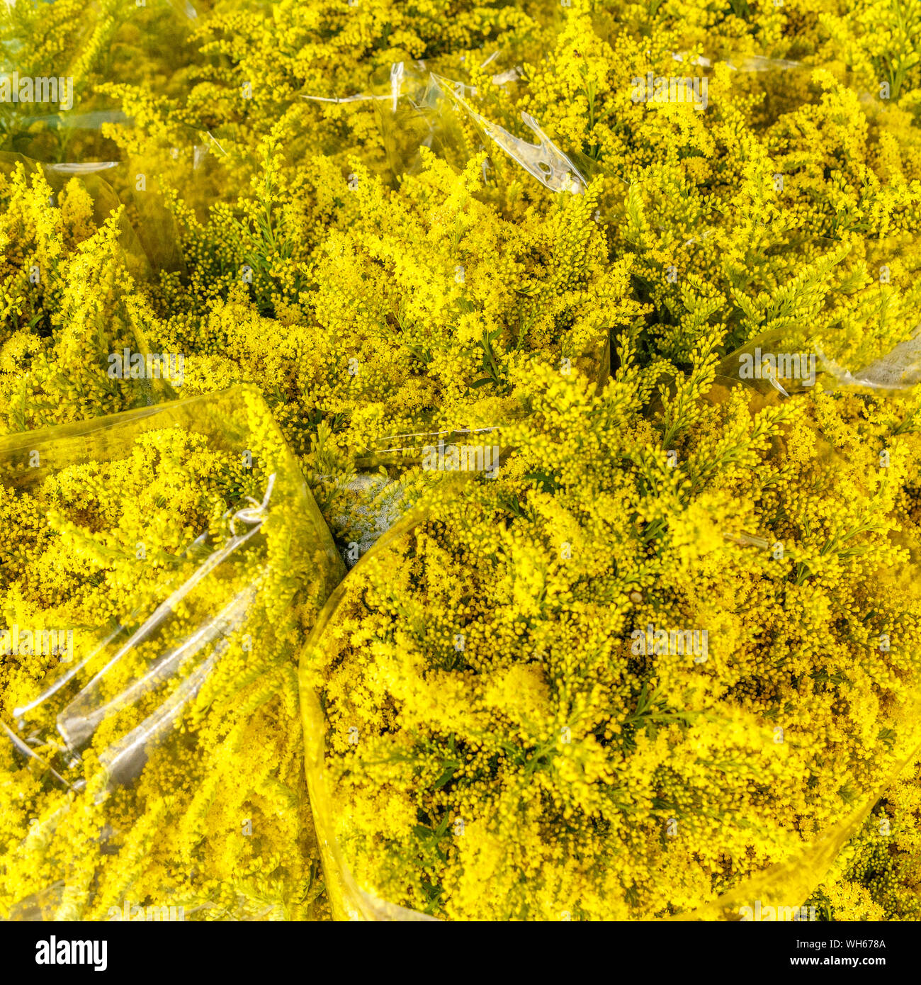 Bouquets of Solidago or goldenrods flowers at Pak Khlong Talat, famous flower market in Bangkok, Thailand. Stock Photo